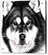 Alaskan Malamute Portrait Acrylic Print