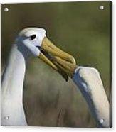 Albatross Courtship Acrylic Print