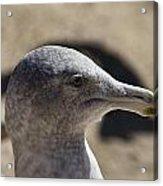 Albatross- Hawaii Acrylic Print