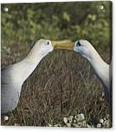 Albatross Perform Courtship Ritual Acrylic Print
