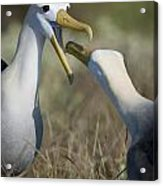 Albatross Perform Mating Ritual Acrylic Print