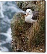 Albatross Rookery Acrylic Print