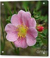 Alberta's Wild Rose Acrylic Print
