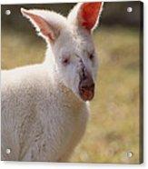 Albino Wallaby Acrylic Print