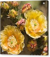 'albispina' Cactus Blooms Acrylic Print