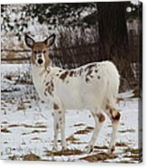 Albright The Piebald Deer Acrylic Print