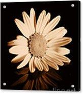 Albumen Daisy Acrylic Print