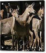 Alert Antelopes Acrylic Print