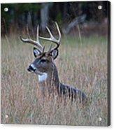 Alert Buck Acrylic Print