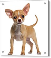 Alert Chihuahua Puppy 3 Months Old Acrylic Print
