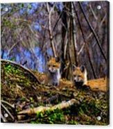 Alert Cute Kit Foxes Acrylic Print