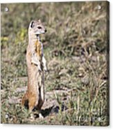 Alert Yellow Mongoose Acrylic Print