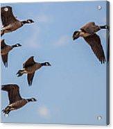 Aleutian Geese Acrylic Print