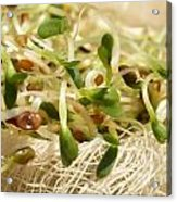 Alfalfa Sprouts Acrylic Print