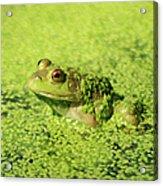 Algae Covered Frog Acrylic Print