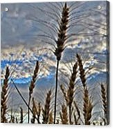 All About Wheat Acrylic Print