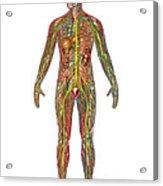 All Body Systems In Male Anatomy Acrylic Print