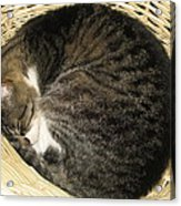 All Curled Up Acrylic Print