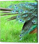 All Feathers Acrylic Print