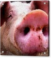 All Snout Acrylic Print