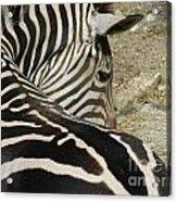 All Stripes Zebra 2 Acrylic Print