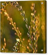 All That Glitters Is Gold Acrylic Print