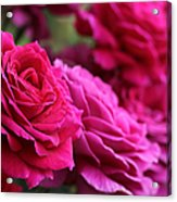 All The Fuchsia Pink Roses  Acrylic Print