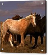 All The Pretty Horses  Acrylic Print