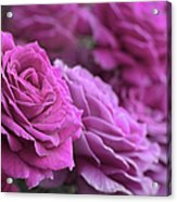 All The Violet Roses Acrylic Print