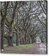 Allee Of Oak Tree's Acrylic Print