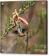 Allen Hummingbird In Flight Acrylic Print