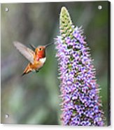 Allen Hummingbird On Flower Acrylic Print
