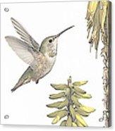Allen's Hummingbird And Aloe Acrylic Print