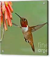 Allens Hummingbird At Flowers Acrylic Print