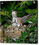 Allens Hummingbird Chicks Acrylic Print