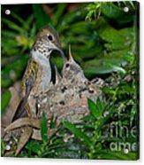 Allens Hummingbird Feeds Young Acrylic Print