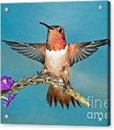 Allens Hummingbird Male Acrylic Print