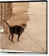 Alley Cat Acrylic Print