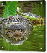 Alligator 2 Acrylic Print
