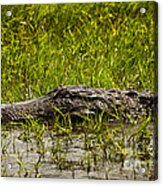 Alligator Amoungst Us Acrylic Print