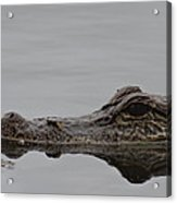 Alligator Eyes Acrylic Print