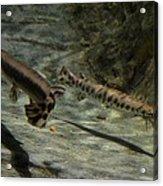 Alligator Gars Acrylic Print