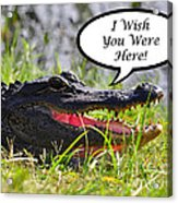 Alligator Greeting Card Acrylic Print by Al Powell Photography USA