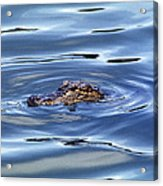 Alligator In Blue Acrylic Print
