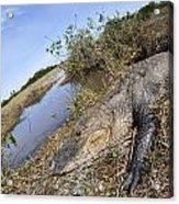 Alligator In Everglades Acrylic Print