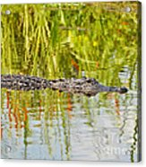 Alligator Reflection Acrylic Print by Al Powell Photography USA