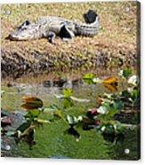 Alligator Sunbathing Acrylic Print