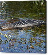 Alligator Swimming In Blue Water Acrylic Print