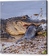 Alligator With A Fish Acrylic Print
