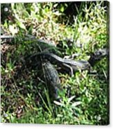 Alligatorbabys Waiting For Mommy Acrylic Print